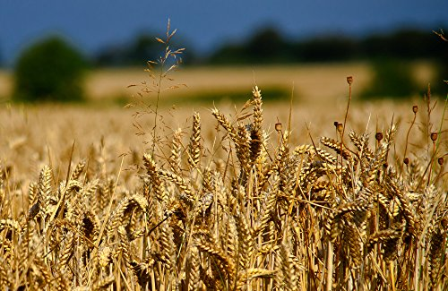All Good Things Organic Seeds Glenn Red Hard Spring Wheat Seeds (~200): Certified Organic, Heirloom, Open-Pollinated, (Hard Spring)