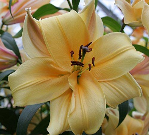 Lilium Orania Oriental Lily - 5 Bulbs by Daylily Nursery
