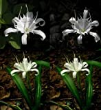 3 Plants Bulbs Pancratium zeylanicum spider white lily + FREE PHYTO Flower Fresh & Viable From Garden
