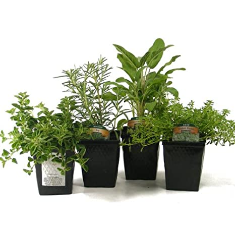 Organic Gourmet Herb Collection Thyme, Oregano, Rosemary, Sage 4 Live  Plants Herb Kits