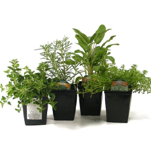 Stargazer Perennials Organic Gourmet Herb Collection Thyme, Oregano, Rosemary, Sage 4 Live Plants Herb Kits Organic Grown Herbs Fresh Herbs Culinary Herb Assortment Container Gardening