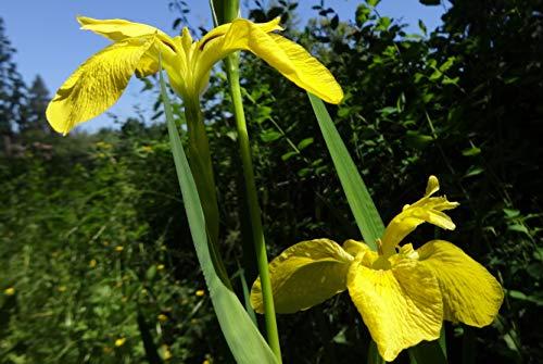 - Yellow Flag (Iris pseudacorus)