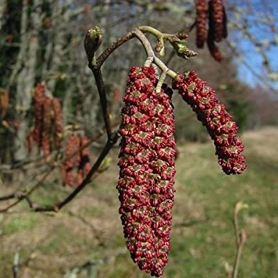 Red Alder Tree Seeds (Alnus rubra) 50+Seeds : Garden & Outdoor