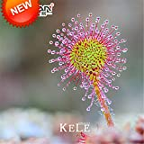 HOO PRODUCTS - Drosera Peltata Seeds Potted Plant Circular Sundew Carnivorous Plants Garden Seeds 100 Seeds / Bag New Arrival !