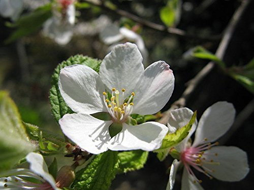 30 Nanking Bush Cherry, Prunus Tomentosa, Shrub Seeds, Model: , Outdoor/Garden Store, Repair & Hardware