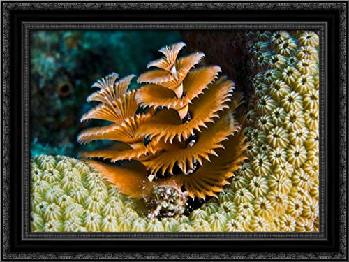 Christmas Tree Worm Filter Feeding While Attached to Great Star Coral, Bonaire, Netherlands Antilles 24x17 Black Ornate Wood Framed Canvas Art by Oxford, Pete (Netherlands Black Pete Christmas)
