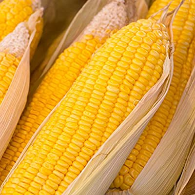 Early Sunglow Hybrid Corn Garden Seeds (Treated) - Non-GMO, SU, Cold Weather Vegetable Gardening Seeds