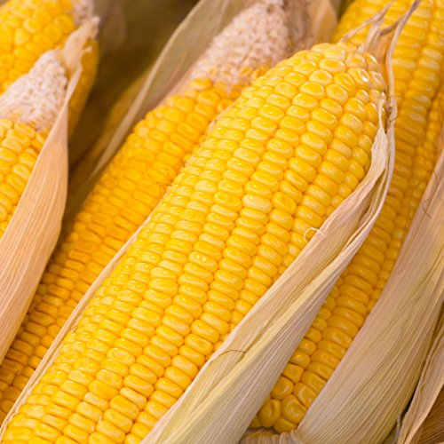 Early Sunglow Hybrid Corn Garden Seeds (Treated) - 5 Lb - Non-GMO, SU, Cold Weather Vegetable Gardening Seeds