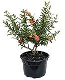 Dwarf Pomegranate Plant - Punica - Bonsai/Houseplant/Outdoors - Edible - 8'' Pot