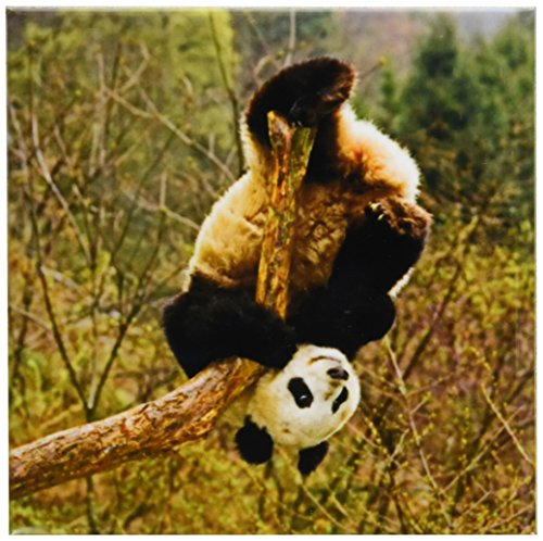 Wolong Panda Reserve China - 3dRose CST_70157_3 Panda Bear, Wolong Panda Reserve, China-AS07 AGA0002-Alice Garland-Ceramic Tile Coasters, Set of 4
