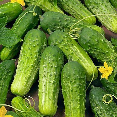 David's Garden Seeds Cucumber Pickling Boston DGS30098A (Green) 50 Heirloom Seeds