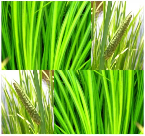 Restoration 8' Center - 50 x Sweet Flag - Acorus calamus - Seed - For Small lakes ponds marshes swamps seeps spring - Zones 4-9 - By MySeeds.Co