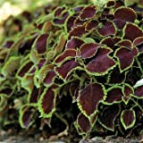 Outsidepride Coleus Chocolate Mint - 20 Seeds