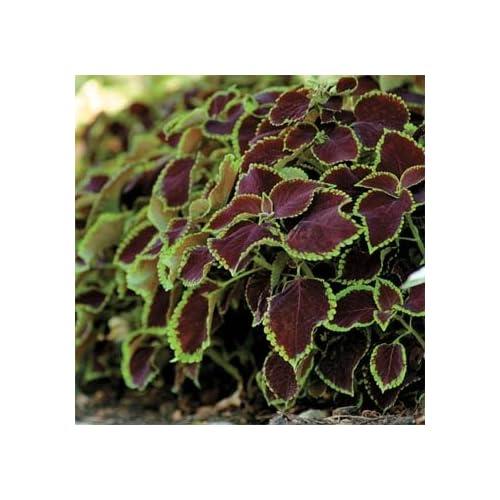 Outsidepride Coleus Chocolate Mint - 20 Seeds