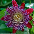 Passiflora Quadrangularis Passion Melon Seeds Perennial Fancy Flower Large Fruit