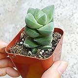 Crassula Moonglow Crassula Deceptor X Falcata Rare Succulent Rooted Plant Buddhas Temple Plant Jade Crassula - 2'' + Clay Pot