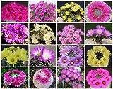 Mammillaria Mix Exotic Cacti Rare Cactus Seed 100 Seeds AJND-0091