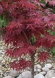 TROPICA - Érable du Japon rouge (Acer palmatum atropurpureum) - 20 graines- Résistant au froid