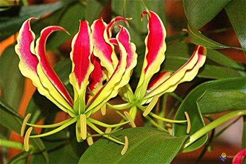(Gloriosa superba - Flame or Fire Lily - Rare Tropical Plant Seeds (10))