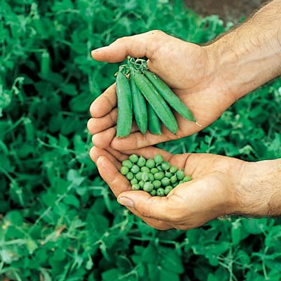 Pea Little Marvel Seeds - Vegetable Seeds Package - 5 lb. Package by GardenTrends