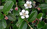 "Mooncreeper Cotoneaster Plant - 4"" Pot"
