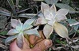 10PCS Clinopodium Urticifolium Seeds Graptopetalum Fruticosum Flower Seeds Potted Plant Seeds