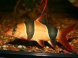 WorldwideTropicals Live Freshwater Aquarium Fish - 3' Clown Loach Fish - Chromobotia macracanthus - by Live Tropical...