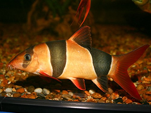 WorldwideTropicals Live Freshwater Aquarium Fish - 3-3.5 Clown Loach Fish - 3-3.5 Chromobotia macracanthus - by Live Tropical Fish - Great For Aquariums - Populate Your Fish Tank! (Clown Aquarium Loach)