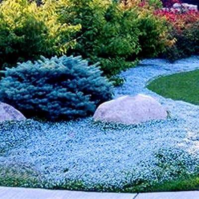 TOMASA Seedhouse- Raras alfombras-tomillo/pie tomillo Cobertura del suelo-Flores Jardín-Decoración Hardy Perenne Vanilla-Tomillo-Flores paraíso para mariposas y abejas: Amazon.es: Jardín
