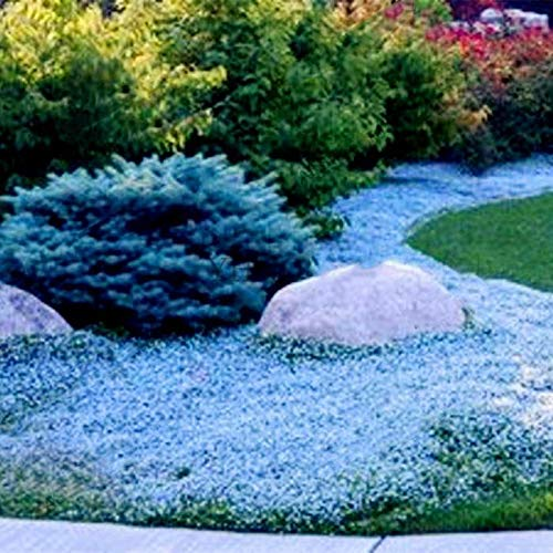 Caiuet Seed house - 100pcs Scented Carpet Phlox Seeds Ground Cover Creeping Thyme Perennial Flowers Perennial Border Stone herb Flower Seeds Hardy Perennial