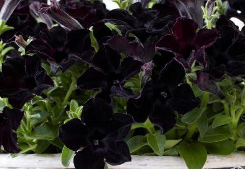 Amazon Com Petunia 100 Seeds Crazytunia Black Mamba Petunia
