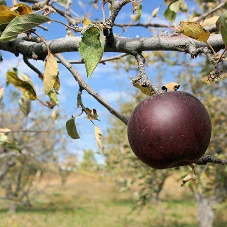 (3 Gallon Bare-Root Set of TWO plants) ARKANSAS BLACK APPLE tree- produces lots of succulent, sweet apples- as an eating apple, late-maturing,medium-sized apple, deep red looks almost -