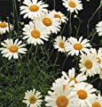 350 PYRETHRUM DAISY SEEDS KILL BUGS INSECTS ~ NATURAL MOSQUITO REPELLENT ~ by PALACE OF THE SUN