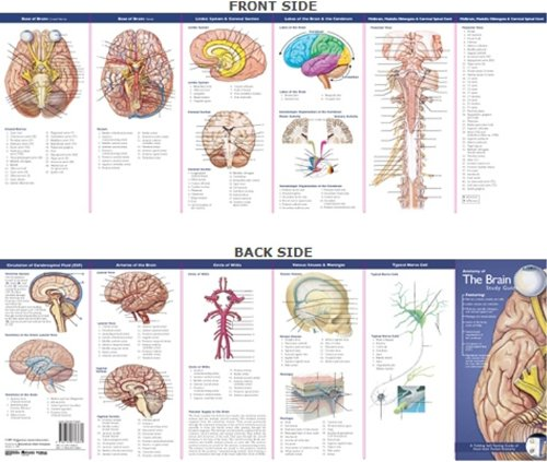 Anatomical Chart Company's Illustrated Pocket Anatomy: Anatomy of The Brain Study Guide (Biology Charts)
