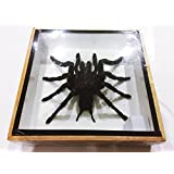 REAL GIANT BIRD EATING TARANTULA EURYPELMA SPINICRUS SPIDER TAXIDERMY BOXED DISPLAY By Thai Decorated