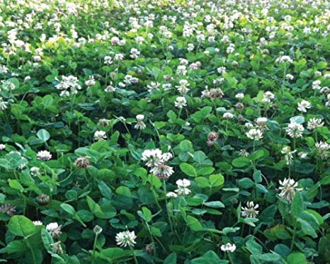 1 Pound Red Clover Seeds Nitro-Coated
