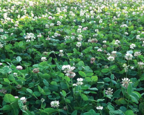 - White Clover Seeds, Nitro-Coated and Inoculated, 1 Pound