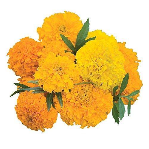 (Burpee Sunset Giants Mix Marigold Seeds 300 seeds)