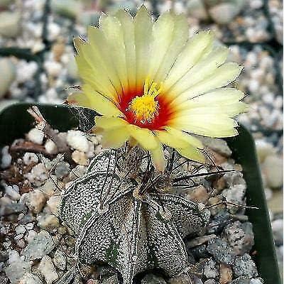 Astrophytum capricorne Goat Horns Cactus Cacti Succulent Real Live Plant : Garden & Outdoor