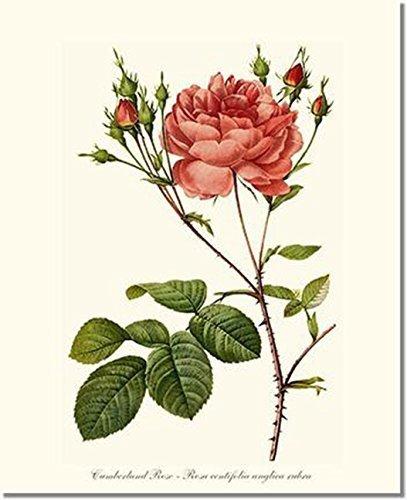 Amazon Com Pink Rose Print Vintage Botanical Art Cumberland Rose