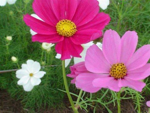 FES Quintessentials Flower Essences Services Cosmos 30ml Dosage by NaturesWisdom.co.uk