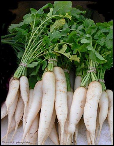 Crunchy Collection (500+ DAIKON RADISH SEEDS Non-GMO Organic SPROUTS / GARDEN Zezty Crunchy Greens)