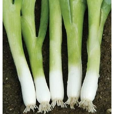 Onion Seeds Nabechan Onion Green Onion Seeds Bunching Onion 500 Seeds : Garden & Outdoor