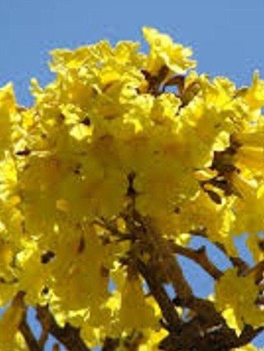 Amazon Tabebuia Caraiba Yellow Flowering Tree Seed 30 Seeds