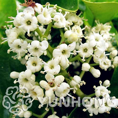 Buy oleander plants for sale