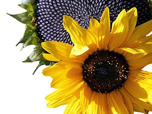 Black Oil Sunflower (60 thru 10 LB Seeds) Bulk Bird birds annual butterfly C6 (5 lb, or 80 ounce, 46,000 seeds) Tall Rainbow Finch Feeder