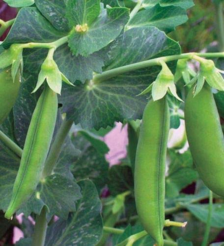 Amazon.com: Little Marvel Pea Seed – Heirloom English Bush ...