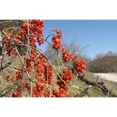 American Bittersweet, Celastrus scandens, Vine Seeds (Fast, Hardy, Showy) (20) : Garden & Outdoor