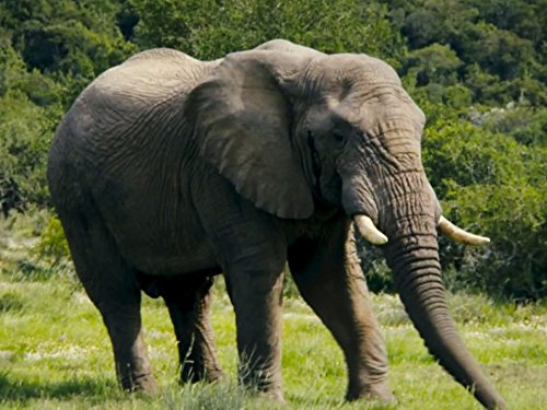 Elephants (The Largest Land Animal In The World)