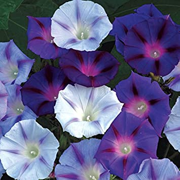 Amazon com : Park Seed Hazelwood Blues Morning Glory Seeds : Garden